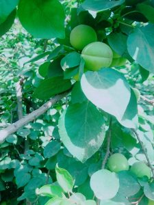 Apricot tree with green fruit